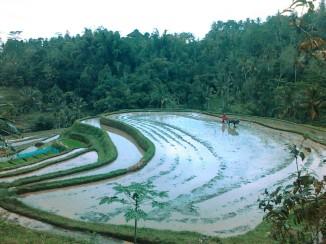 jatiluih rice terrace